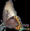 butterfly left 100x103