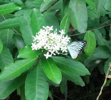 Pale blue butterfly